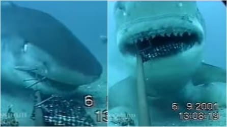 Gli squali odiano le telecamere: guardate come la riducono quando la vedono