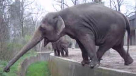 """L'elefante più """"elegante"""" che ci sia: riesce a stare in equilibrio sul piccolo muretto"""
