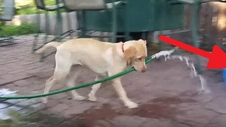 Il cane prende il tubo dell'acqua in bocca e guardate dove va: fantastico!