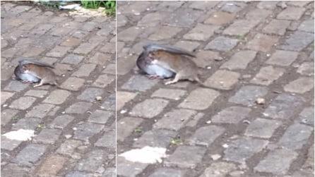 Topo contro piccione: la ferocia del ratto è impressionante