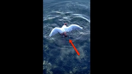 Il gabbiano si poggia sul mare: guardate cosa succede sotto'acqua