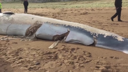 Trovano una balena spiaggiata e il motivo della morte è davvero terribile