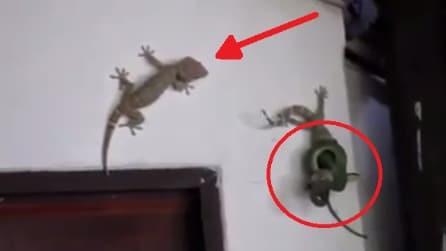 Il geco sta per essere divorato dal serpente, ecco cosa fa il suo amico