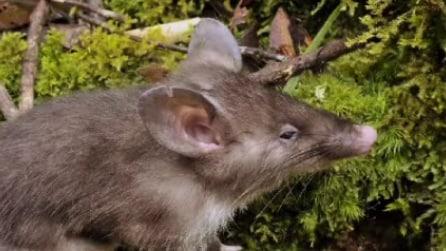 Scoperto un nuovo roditore: ecco il topo-maiale