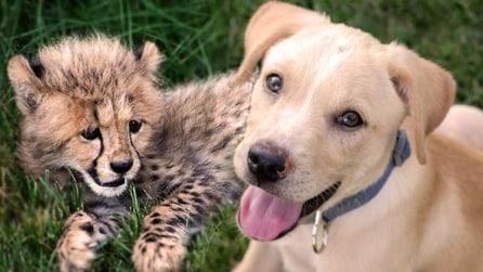 Ghepardo e cane si incontrano: quando in natura succede qualcosa di insolito
