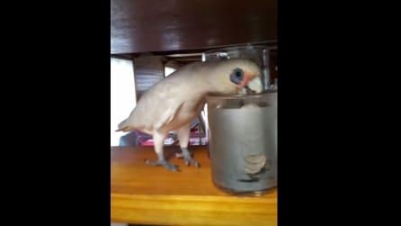 Il pappagallo è nervoso e fa i dispetti al padrone