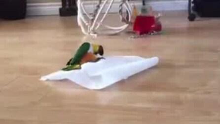 Il pappagallo tenta di avvolgersi nella carta: guardate cosa si inventa!