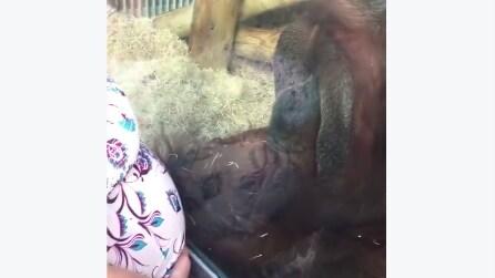 Donna incinta poggia il suo pancione sul vetro: la reazione della scimmia è davvero tenera