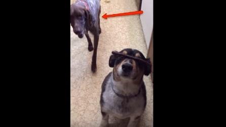 Questo cane è ben addestrato: ma state a vedere cosa succede quando arriva l'altro
