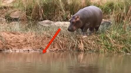 Ha pochi mesi e non si rende conto del pericolo: ecco cosa fa questo baby ippopotamo