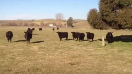 Tre ragazze cantano in coro: l'effetto che hanno su queste mucche è incredibile