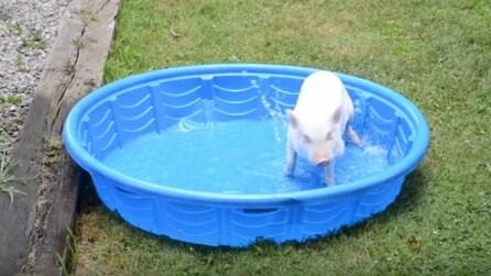Il maialino Willow impazzisce di gioia appena vede la sua piscina