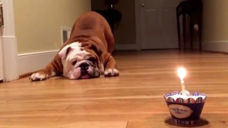 La reazione di questo cane alla sua torta di compleanno è da morir dal ridere