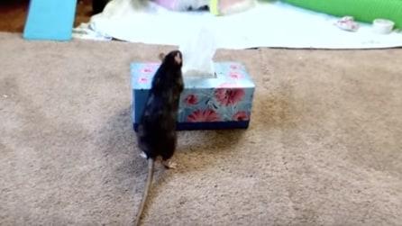 Lei starnustisce e guardate il suo ratto domestico cosa fa: geniale!