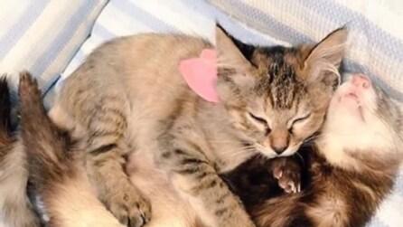Komari, il gattino speciale che crede di essere un furetto