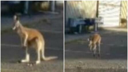 Il canguro scappa di casa e lo ritrovano saltellando per le strade di New York