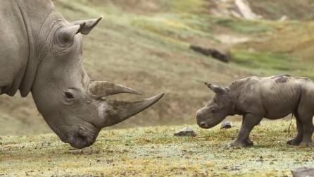 Kianga, il cucciolo di rinoceronte bianco gioca con la madre nello zoo di San Diego