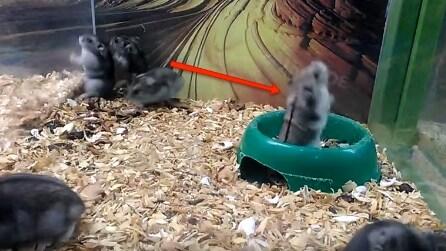 Non riuscirai a credere cosa fa questo criceto nella ciotola