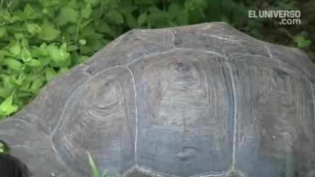 Chelonoidis donfaustoi, la nuova specie di tartaruga gigante delle Galápagos