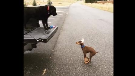 Il cane piccolo tenta di emulare il suo amico: quello che fa vi farà divertire