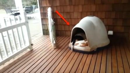Indovinate quanti cani sono in quella cuccia: non ci crederete mai