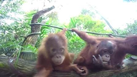 La telecamera invadente si avvicina agli orango: guardate la loro reazione