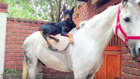 Il cane che sussurrava ai cavalli: non crederete al rapporto che c'è tra loro due