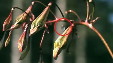 Basta una goccia d'acqua per farla esplodere: la straordinaria reazione della pianta