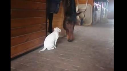 Il pit bull si avvicina al cavallo: quello che succede vi lascerà senza parole