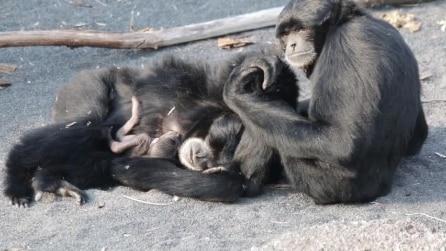Torino, nasce un cucciolo di siamango al Bioparco Zoom