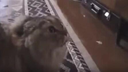 Il padrone suona la chitarra: guardate cosa fa il gatto e non smetterete di ridere