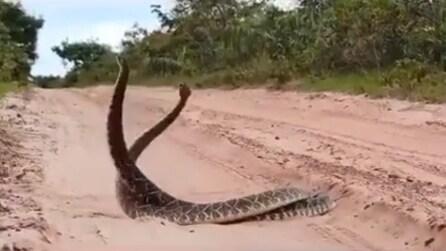 Due cobra in amore: l'impressionante danza d'accoppiamento