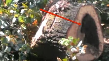 Tagliano una grande quercia e quello che trovano all'interno è impressionante