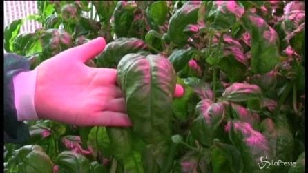 Pomodori italiani coltivati nello spazio: a Roma la serra in cui si sperimentano