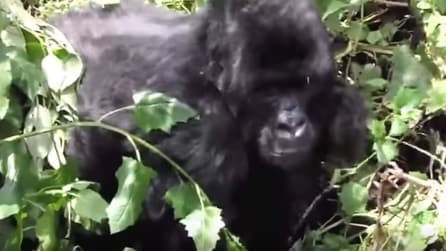 Turista invadente aggredito dal gorilla: gettato via come una bambola di pezza
