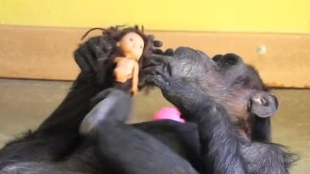 Mamma scimpanzé non ha mai potuto crescere i suoi piccoli, culla così la sua bambola preferita