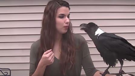 Anche i corvi possono parlare: sentite un po' questo qui