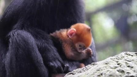 Australia: ecco Nangua, rarissima scimmietta dal pelo arancione