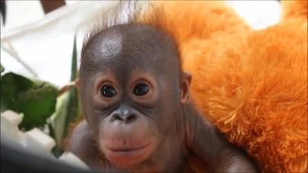 Gito, l'orangotango salvato dai maltrattamenti torna a sorridere