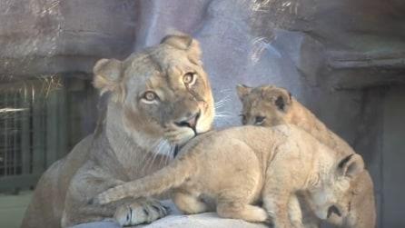Mamma leonessa partorisce: i cuccioli vengono mostrati per la prima volta al pubblico