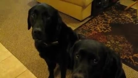"""""""Chi ha rubato il biscotto?"""" La reazione del labrador a sinistra vi farà troppo ridere"""