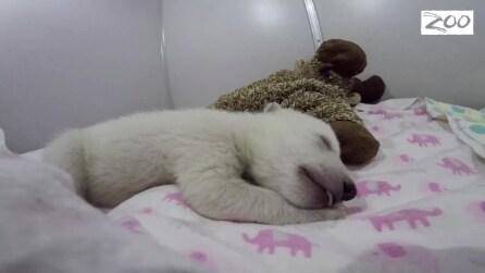 L'orsetto polare dorme e sogna: i suoi teneri movimenti