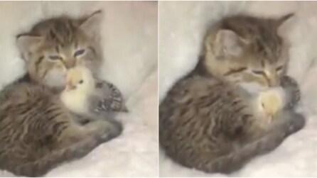 Il gatto riempie di baci il pulcino: l'amicizia più tenera che ci sia