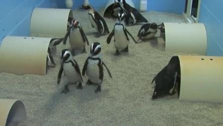 I pinguini entrano e subito si mettono a lavoro per costruire un nido accogliente