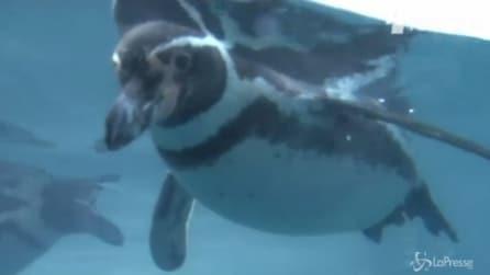 Si chiama Dippy: ecco l'anziano pinguino di Humboldt