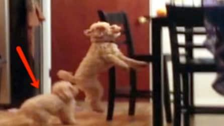 Non riesce ad acciuffare l'osso: quando arriva l'altro cucciolo non smetterete di ridere