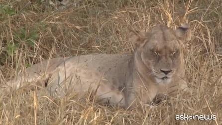 Kenya, avvelenati 8 leoni star di un documentario BBC
