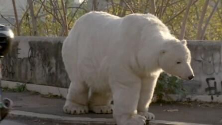 Avvistato un orso bianco per le strade di Roma: ecco cosa è accaduto