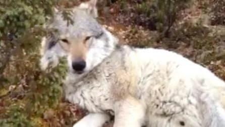 D'improvviso si imbatte in un lupo nella foresta: quello che succede è incredibile