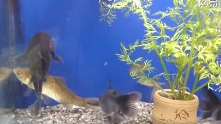 """La reazione del pesce gatto quando vede un """"intruso"""" nel suo acquario"""